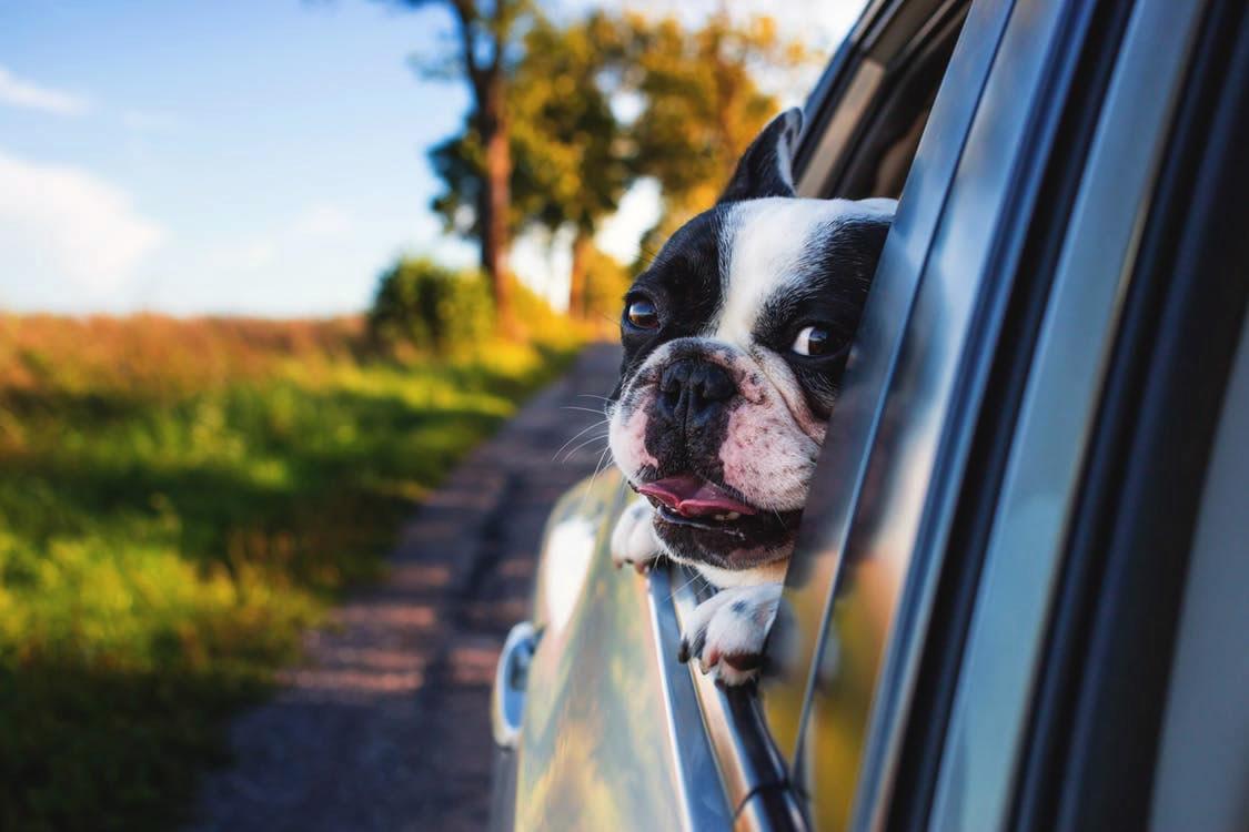 dog in car main